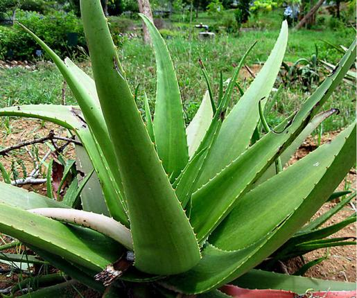 how to grow aloe vera at home and its many benefits literacybase. Black Bedroom Furniture Sets. Home Design Ideas